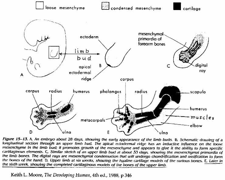 Anatomy, Embryology and Genetics